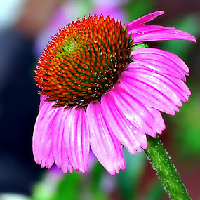Daisy by Colleen Rohrbaugh - Nature Up Close Flowers - 2011-2013 ( nature, plants, gardens, landscape, flowers,  )