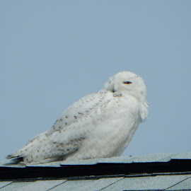 Snowy Roof by Kristine Nicholas - Novices Only Wildlife ( blue sky, owl, bird of prey, nature, snowy owl, nature up close, birds, birding, birds of prey, blue, white, bird photography, bird, owls, nature close up, rooftop, wild, snowy, wildlife,  )
