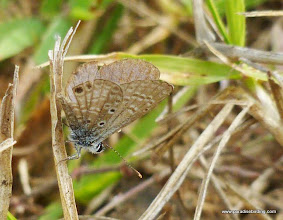 Photo: Ceraunus Blue (Hemiargus ceraunus); Rancho Primavera, near Tuito, Jalisco
