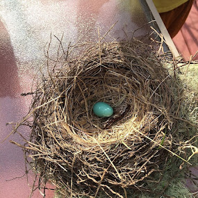 Robin's egg by Pam Blackstone - Nature Up Close Hives & Nests ( robin, blue egg, blue, nest, egg, robin's egg,  )