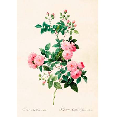 Poster vintage ros, 35x50 cm Sköna Ting