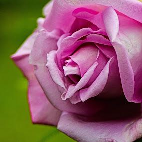 Pink Rose  by Claudio de Freitas Photography - Flowers Single Flower ( photos, flower closeup, pink rose, flower photography, photooftheday,  )