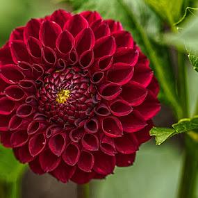 Beautiful Dahlia by Brent Morris - Flowers Single Flower