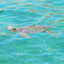 Loggerhead sea turtle (Θαλάσσια χελώνα)