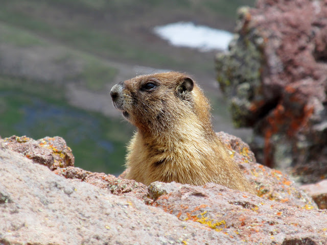 Marmot near the trail