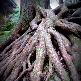 Rooted  by Virginia Howerton - Nature Up Close Trees & Bushes ( tree, nature, root, roots, trees,  )