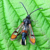 Red-tipped Clearwing
