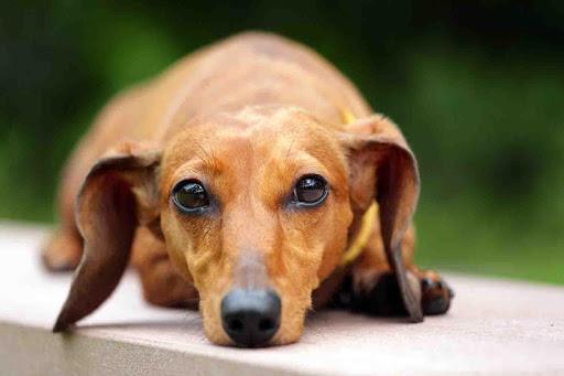Dachshund Puppy Wallpaper