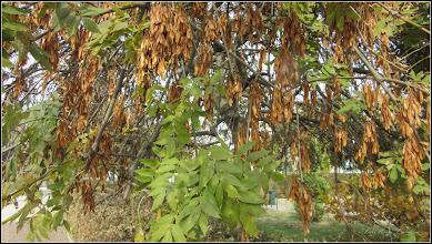 Photo: Fraxinus excelsior Pendula (Frasin pendular) - din Turda,  Piata 1 Decembrie 1918, parc - 2018.10.19