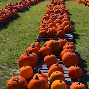 Halloween Pumpkins by John Anthony - Nature Up Close Gardens & Produce
