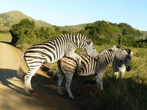 Zebra Mating Other Animals Pixoto