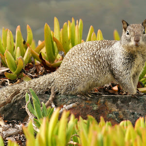 A squirrel in the succulent.jpg
