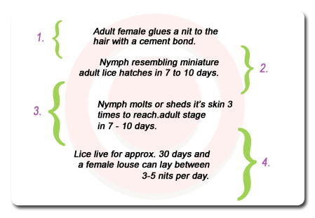 Lice Control lice treatment lice lifecycle graphic image