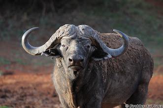 Photo: Cape buffalo at Motswedi waterhole