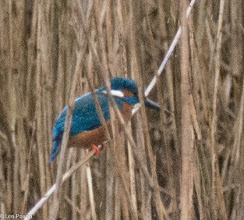 Photo: Kingfisher (m) Yarrow Valley Park, Chorley 01.05.16