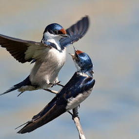 What do you want? by Robbie Aspeling - Animals Birds ( bird, avian, pair, swallow, mating, white thrroated,  )