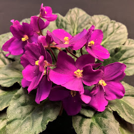 African Violet by Carol Leynard - Instagram & Mobile iPhone ( potted plant, saintpaulias, african violet, violet, flowering plant, flower )