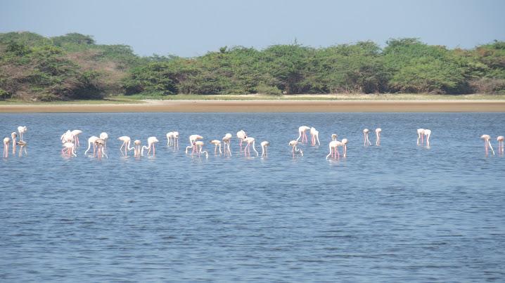 Lesser Flamingos, enroute Dhanushkodi