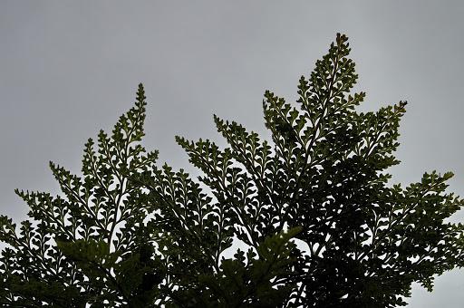 Davallia canariensis