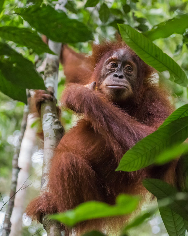 "Authorities said the case was the latest in a string of ""unnatural deaths"" of orangutans on the island, to which they are native."