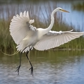 Egret In Flight by Linda Smith - Animals Birds ( egret, bird in flight, nature, nature up close, great egret,  )