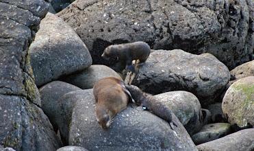 Photo: Pelzrobben der Tauranga Bay Seal Colony
