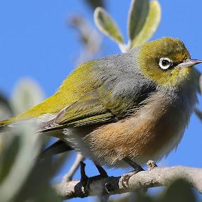 Silvereye Supreme by John Dutton - Animals Birds ( bird, silverey, nz, waxeye )