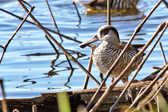 Photo: Pink-eared Duck