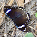 Great Eggfly / Blue Moon Butterfly