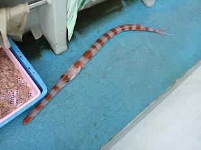Photo: ヤガラ。 しかし、釣られて動揺してるのか、シマシマヤガラになってるし・・・。