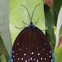 Midamia Moth