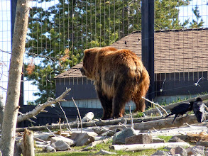 Photo: Grizzly bear! That one is called Sam and really just wants to go back to its cave.