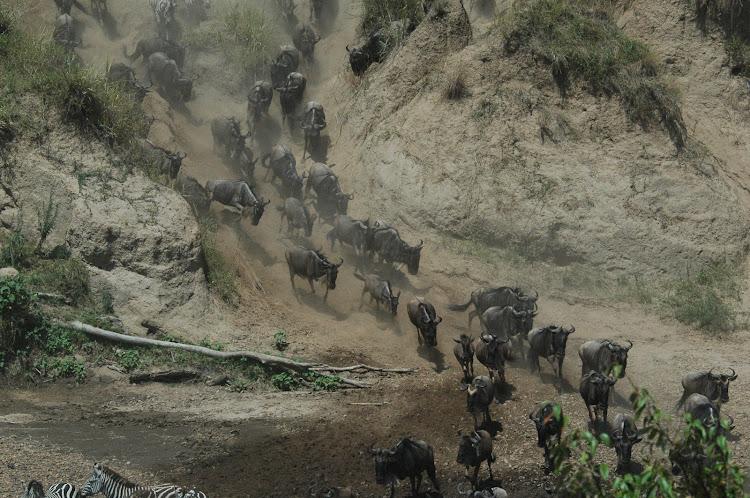 Migrating herds of wildebeest