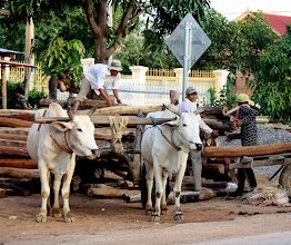 Photo: Year 2 Day 40 - Oxen Loading in Moung Ruessie