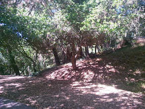 Photo: Once clear, the ground beneath the oaks remains relatively maintenance free.