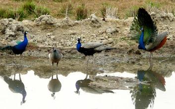 Photo: Wasserloch bei Udaipur - morgendlicher Treffpunkt zweier Dutzend Pfauen.