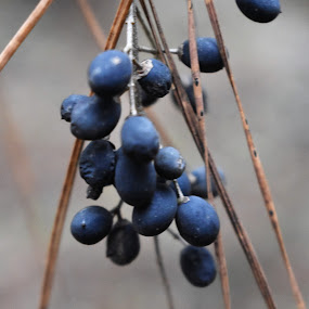 billberry by Matthew Robert - Nature Up Close Other plants ( outdoor, billberry, berry, blue, plants )