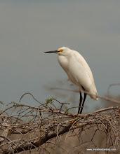 Photo: Snowy Egret at Corkscrew Swamp Sanctuary, SW Florida