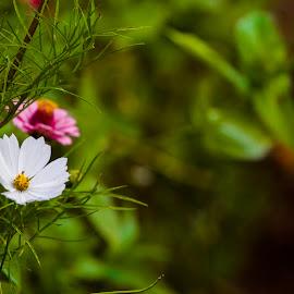 White Cosmos by Kuldip Limbu - Flowers Flowers in the Wild ( white, white cosmos, flower )