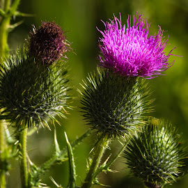 Thistle by Dave Lipchen - Flowers Flowers in the Wild ( thistle )