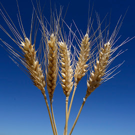 Wheat heads by Denton Thaves - Nature Up Close Gardens & Produce ( wheat )