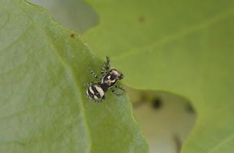 Photo: Salticus scenicus ?   ARACHNIDA > Araneae > Salticidae