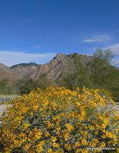 Photo: Brittlebush; Anza Borrego Desert State Park