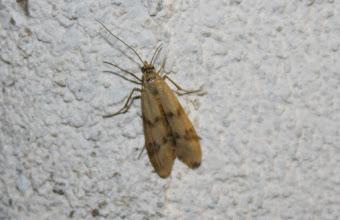 Photo: Homoeosoma sinuella  Lepidoptera > Pyralidae