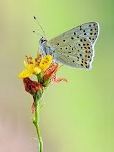 Photo: Cuivré fuligineux / Argus myope, Lycaena tityrus http://lepidoptera-butterflies.blogspot.fr/