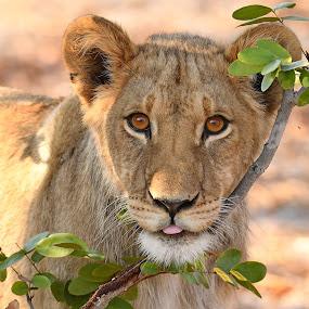 by Steven Liffmann - Animals Lions, Tigers & Big Cats (  )