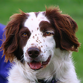 Spaniel by Chrissie Barrow - Animals - Dogs Portraits ( pet, white, fur, ears, brown, dog, nose, portrait, eyes )