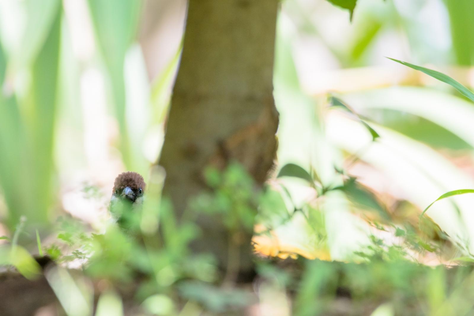 Photo: 「気づいてないよ」 / Hiding.  大丈夫 ちゃんと隠れられてるよ 気づいてない振り 気づいてない振り  Sparrow. (スズメ)  Nikon D500 SIGMA 150-600mm F5-6.3 DG OS HSM Contemporary  #birdphotography #birds #kawaii #ことり #小鳥 #nikon #sigma  ( http://takafumiooshio.com/archives/2739 )