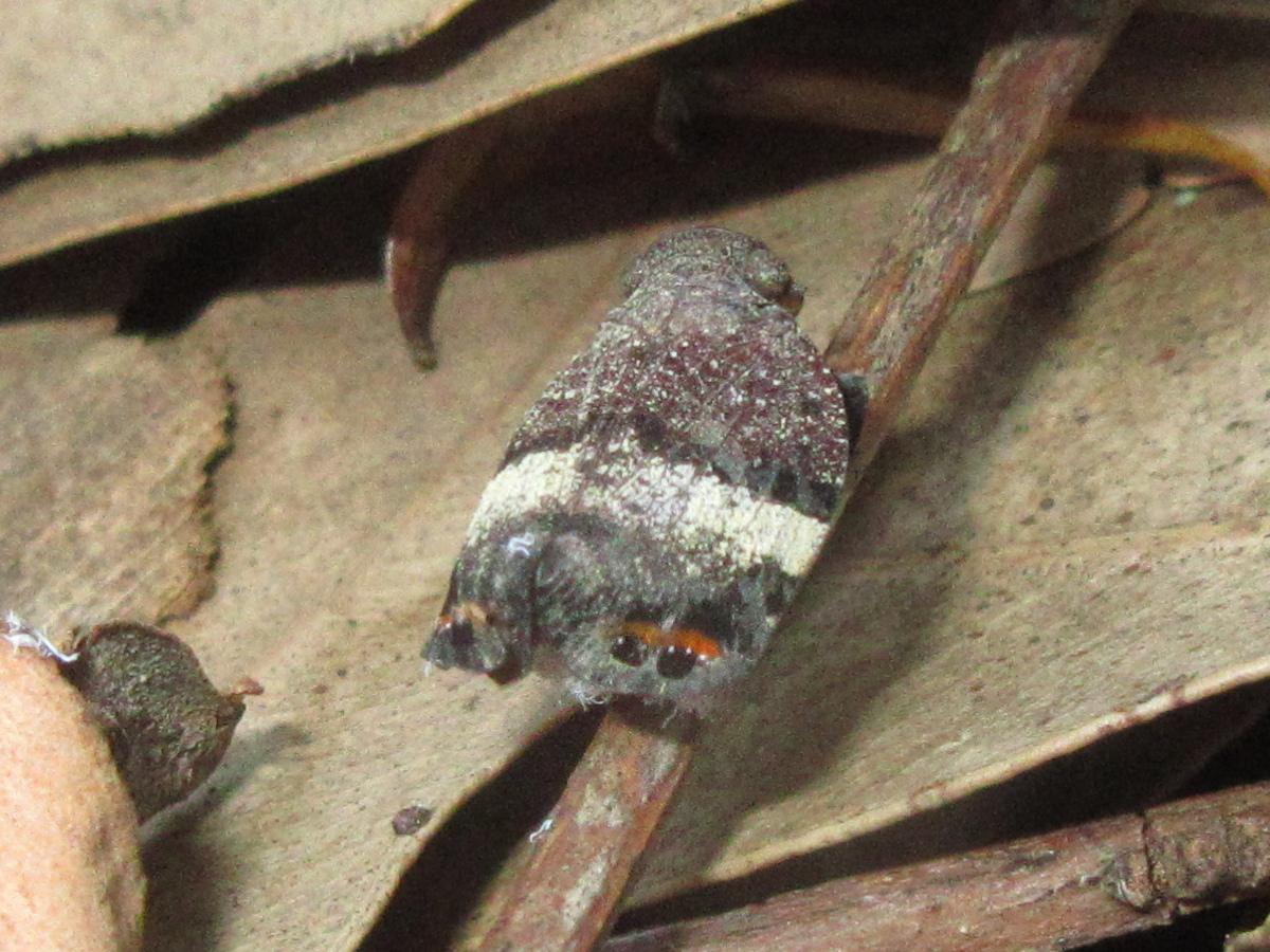 Eurybrachid hopper