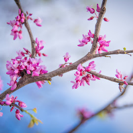 In Full Bloom by Erin Perkins-Watry - Flowers Tree Blossoms ( red bud, tree, branch, pink, spring )